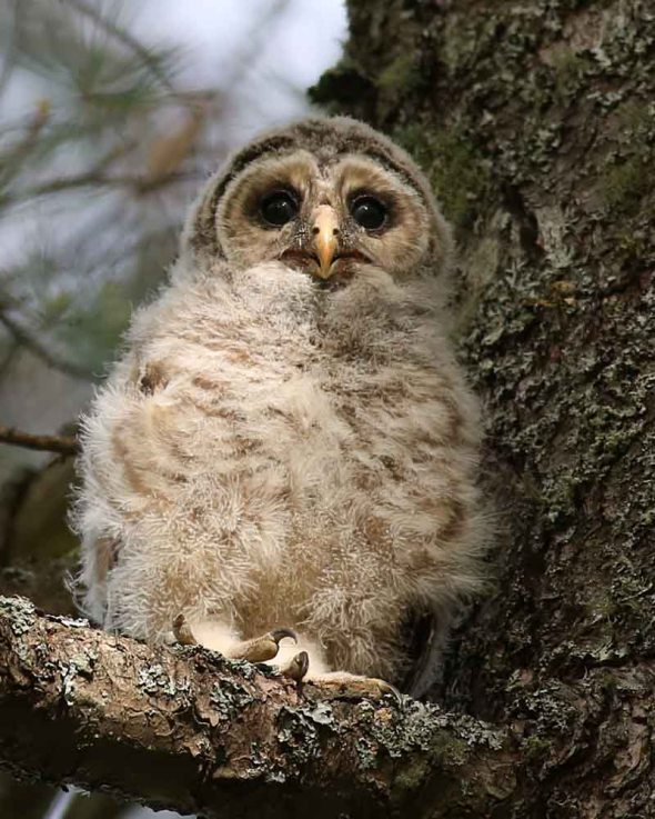 6-18-15  barred owl fledged 155