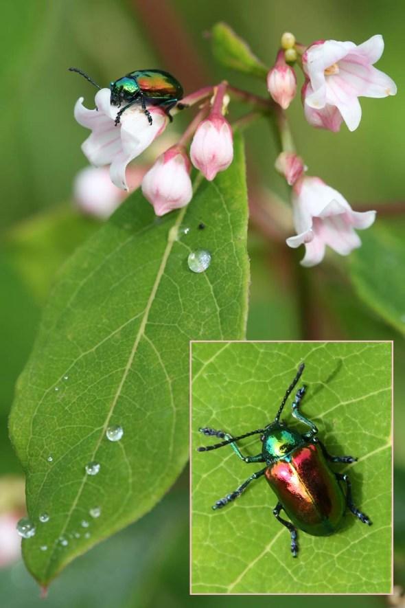 7-1-15  dogbane beetle170
