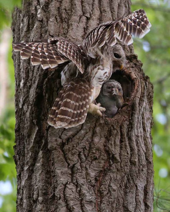 email- barred owl adult & young with red-backed vole  1051