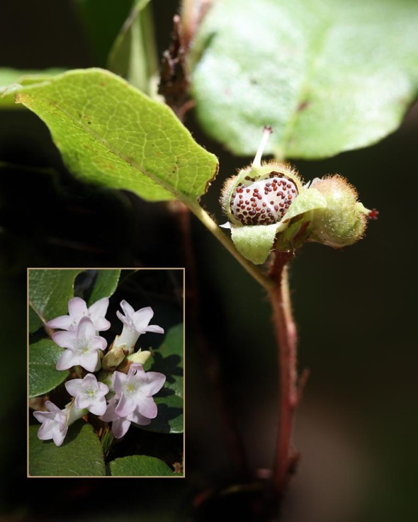 trailing arbutus fruit 115