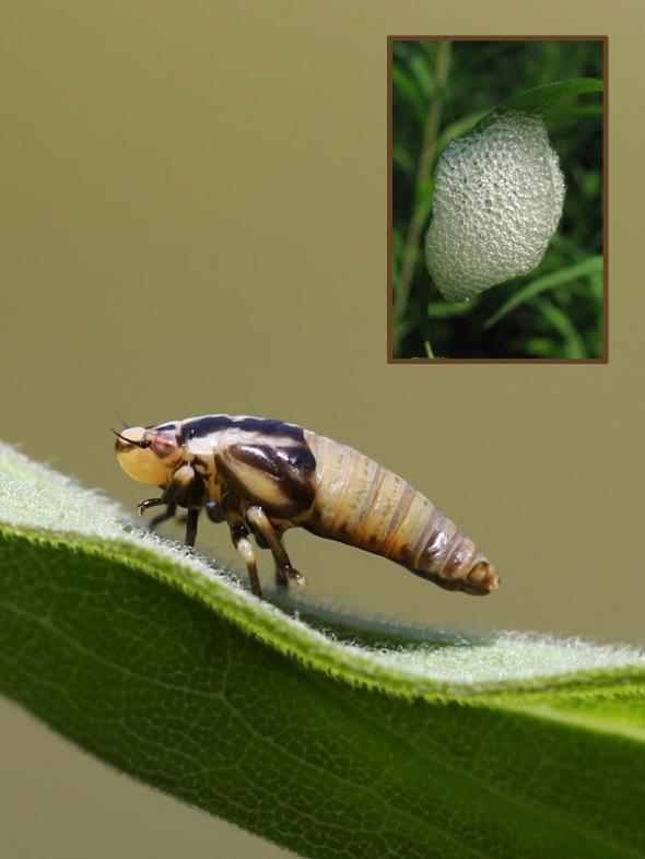7-15-15  spittle bug 049