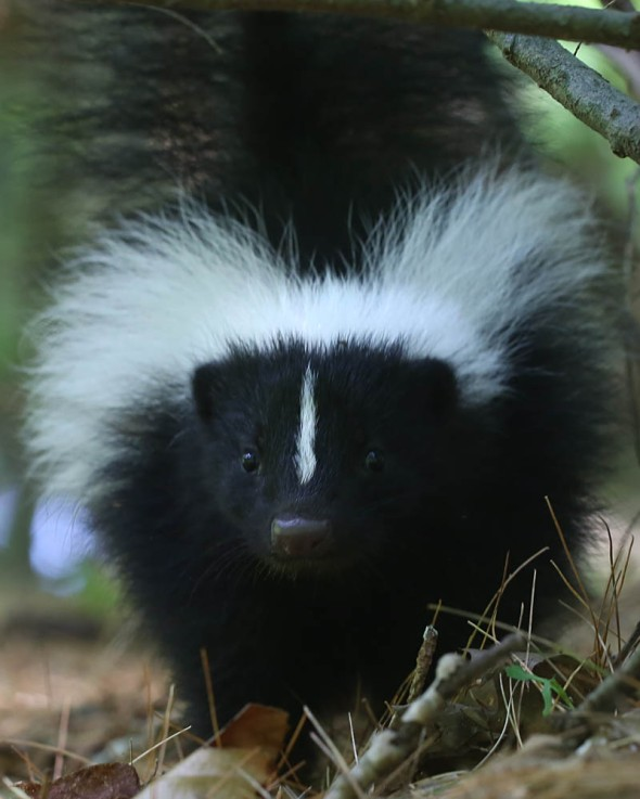 7-15-15 striped skunk2 058