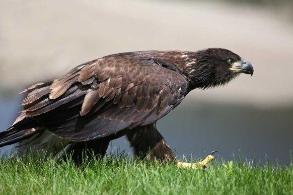 7-17-15 juvenile eagle 003