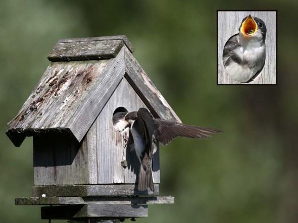 7-21 tree swallows 068