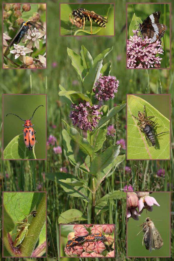 7-6-15 milkweed critters 078