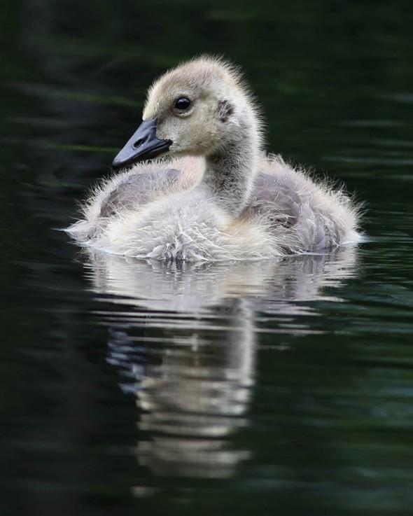 Canada goose gosling 207
