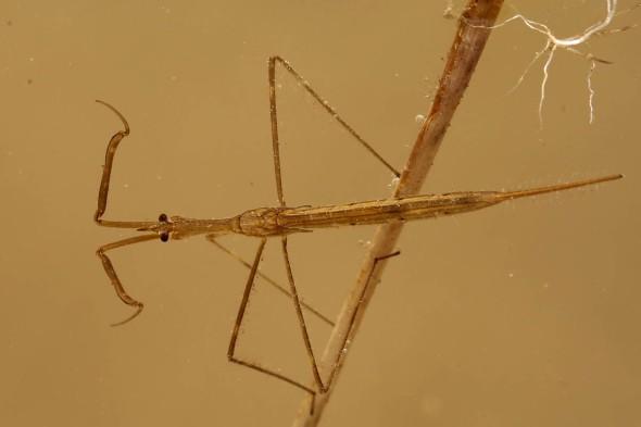 water scorpion 005
