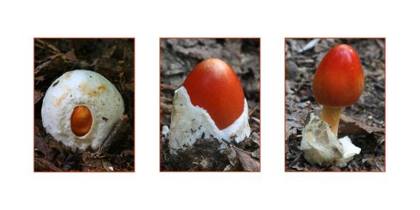 8-12-15 American Caesar's Mushroom