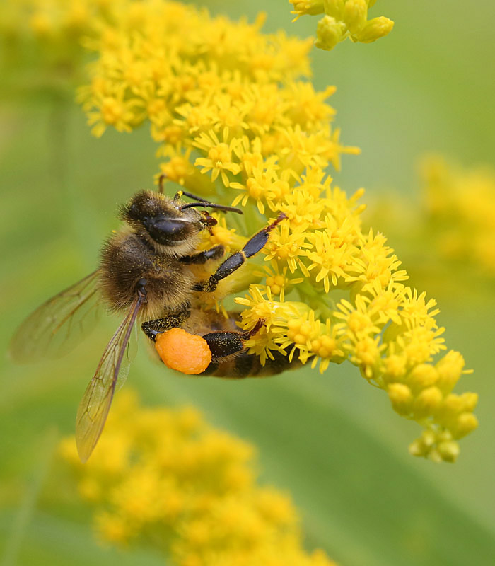 8-13  honeybee and goldenrod 028