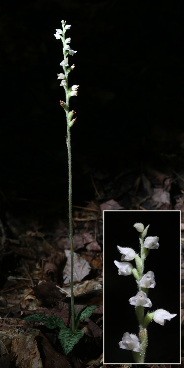 8-7 downy rattlesnake plantain 083