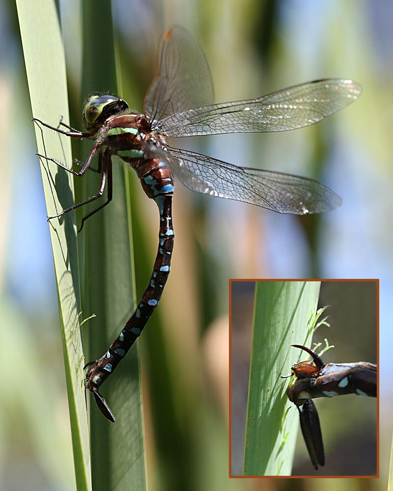 9-1-15 dragonfly laying egg 135
