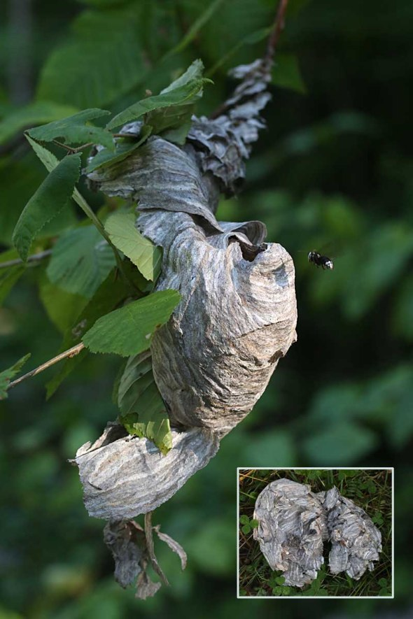 9-2 hornet nest torn by bear 083