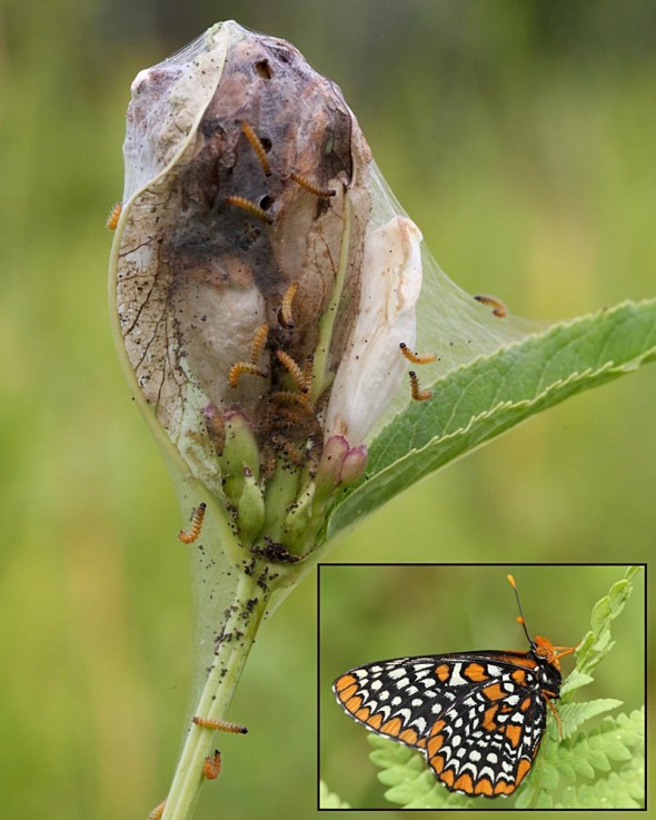 Baltimore checkerspot larvae