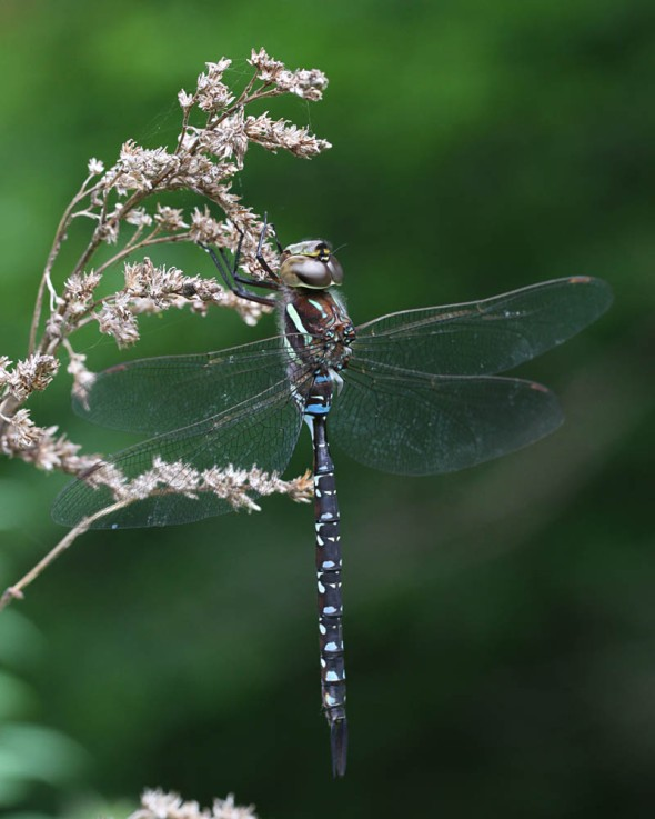 black-tipped darner IMG_3123