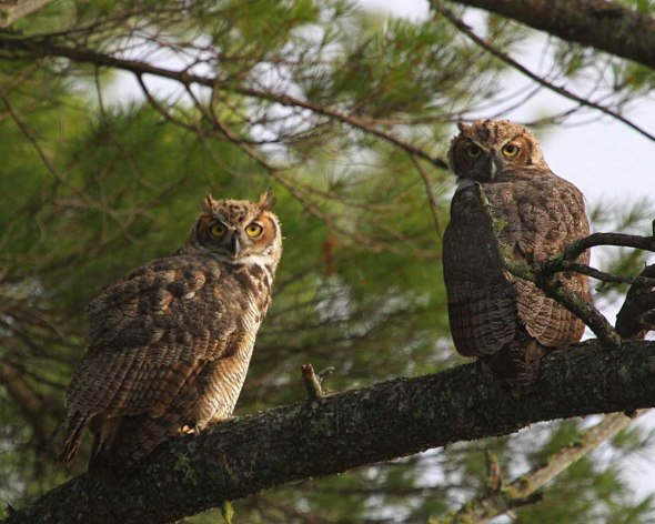 great horned owls-first year IMG_1616