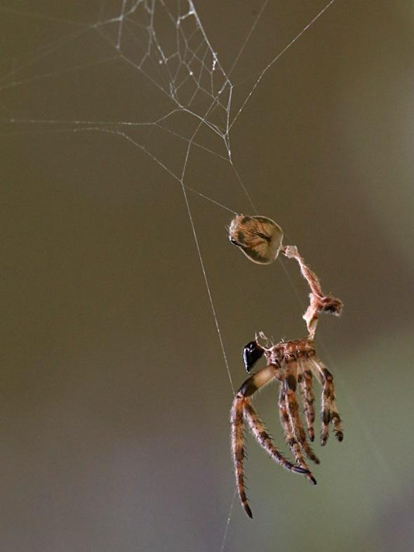 shed spider skin 052