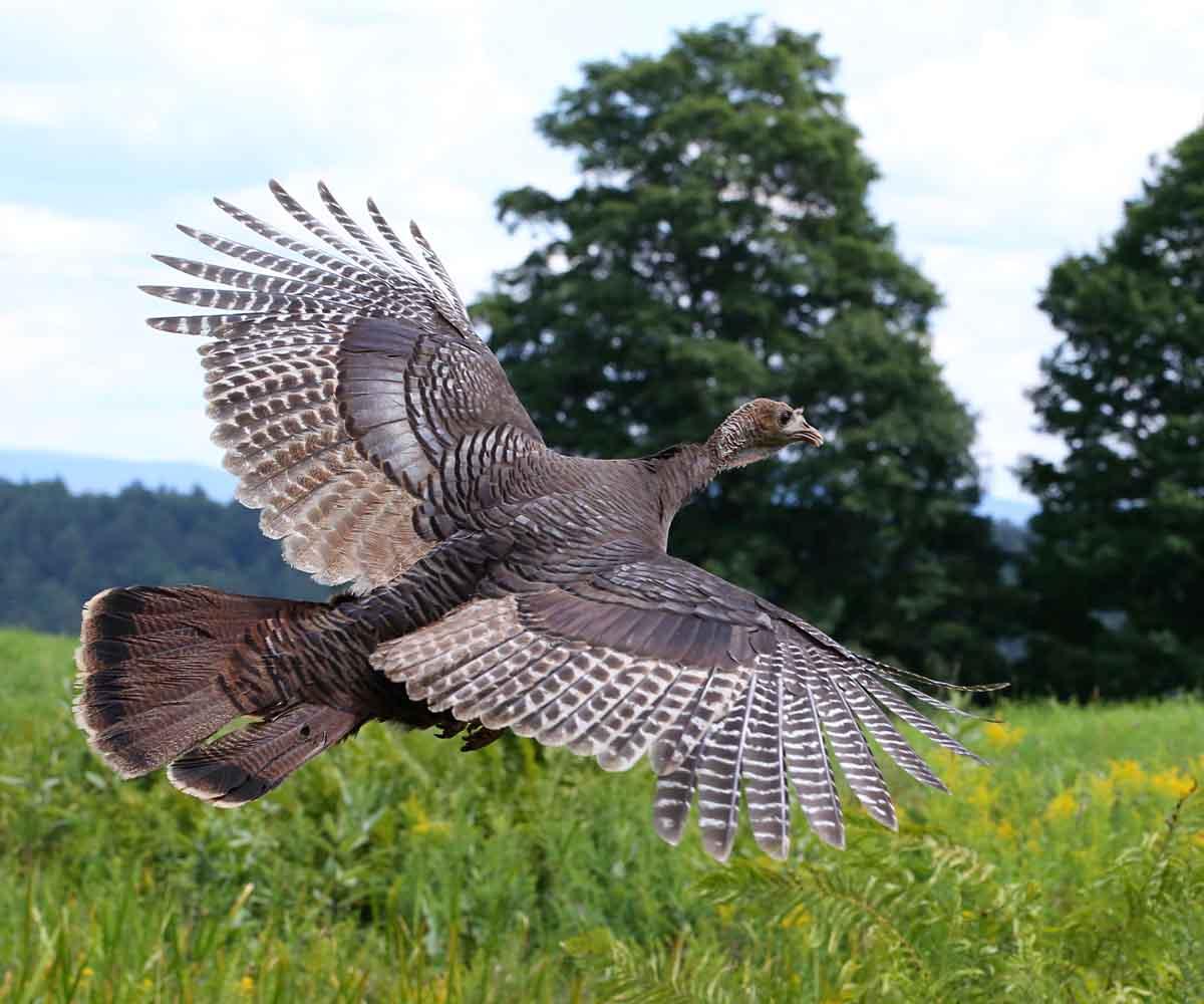 Wild turkey flight - photo#3