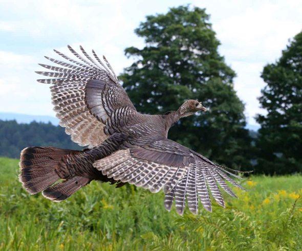 wild turkey 186