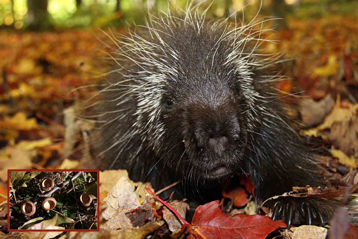 10-1-15  porcupine in leaves IMG_2537