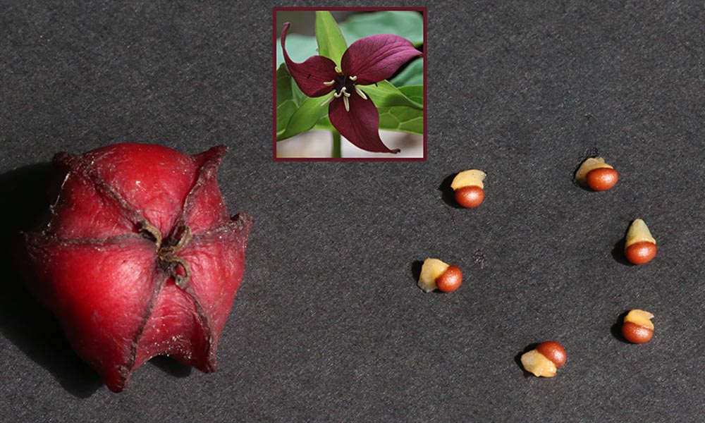 9-10-15 red trillium fruit and seeds  092