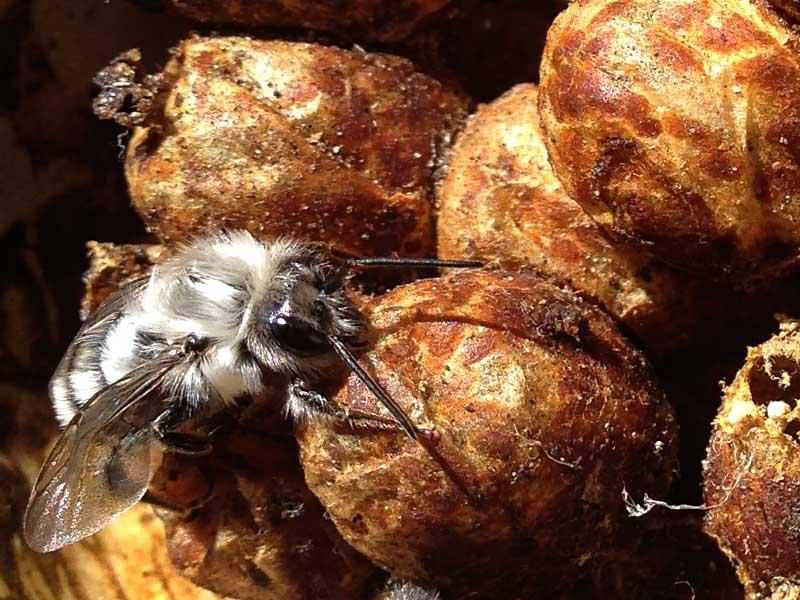 9-11-15  bumblebee emerging IMG_5476