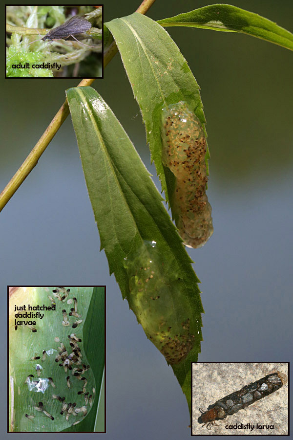 9-3 caddisfly eggs & larvae 402