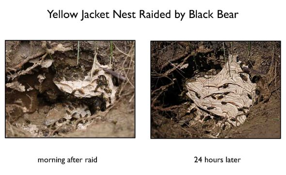 yellow jacket nest2