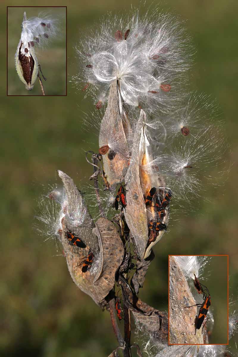 10-14-15 large milkweed bugs 095
