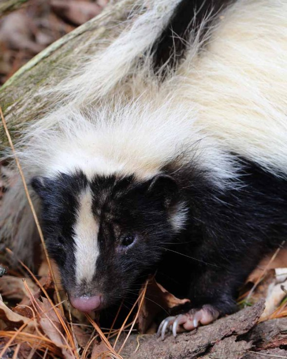 10-21-15 striped skunk 221