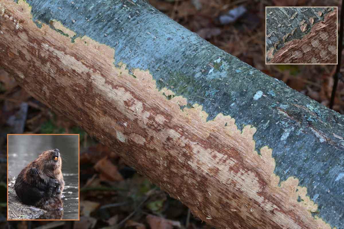 10-29-15 beaver incisor marks 025