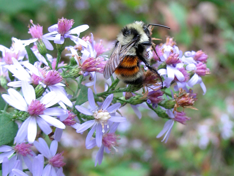 10-5-15 tri-colored bumblebee IMG_1479