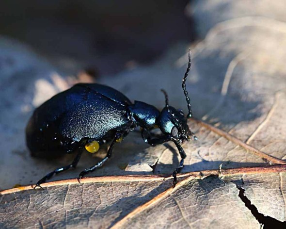 10-5 short-winged blister beetle 064