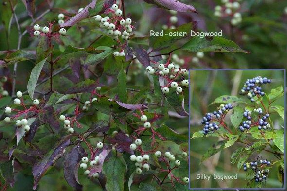 10-6-15 silky dogwood 291