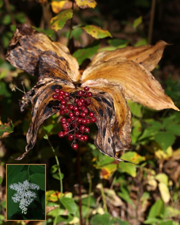 10-9-15 false solomon's seal berries  079