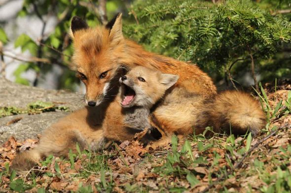 red foxes IMG_4515
