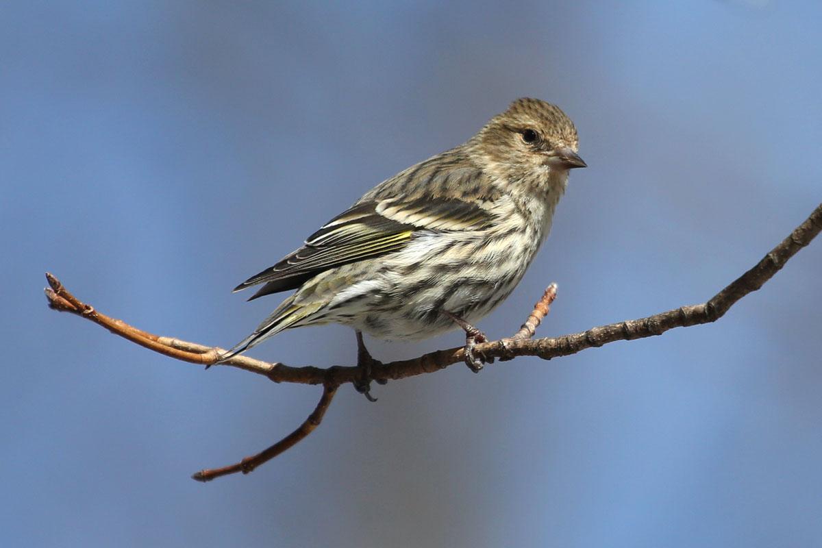 10,000 Aves | Invasión del pinzón de invierno Alimentación de aves