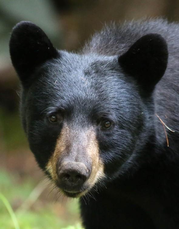 11-11-15  BLACK BEAR 267