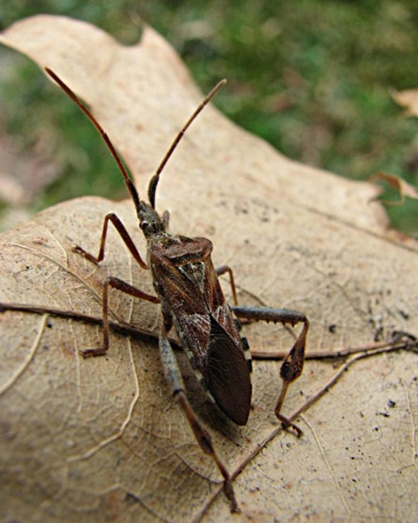 11-30-15 western conifer seed bug IMG_1133