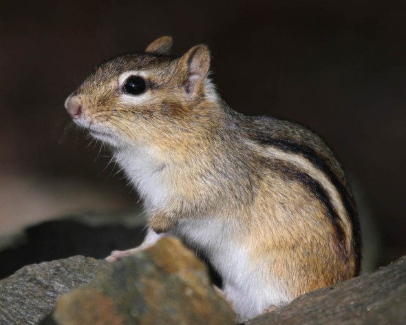 11-6-15  eastern chipmunk IMG_0439