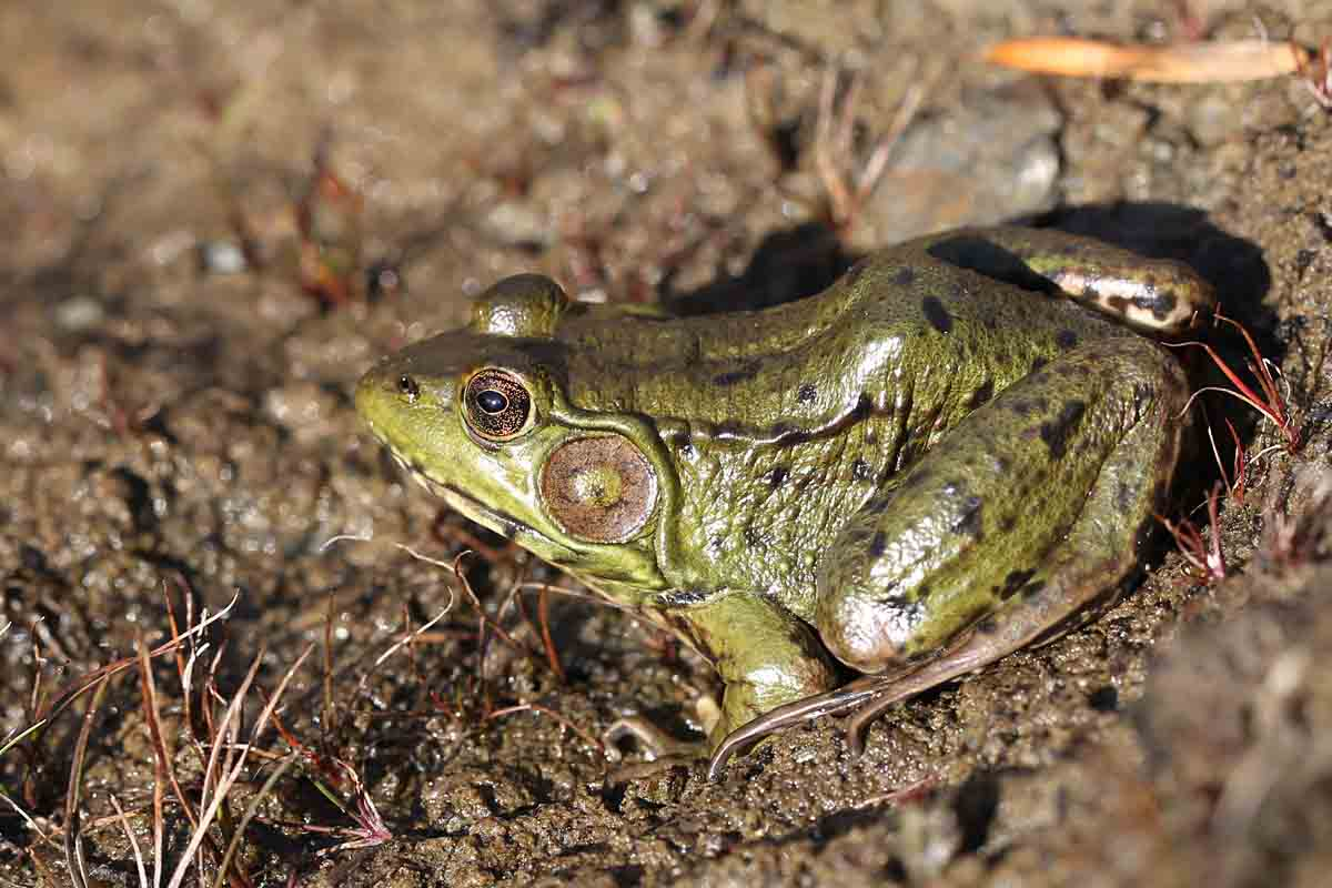 11-9-15 A. bullfrog 005