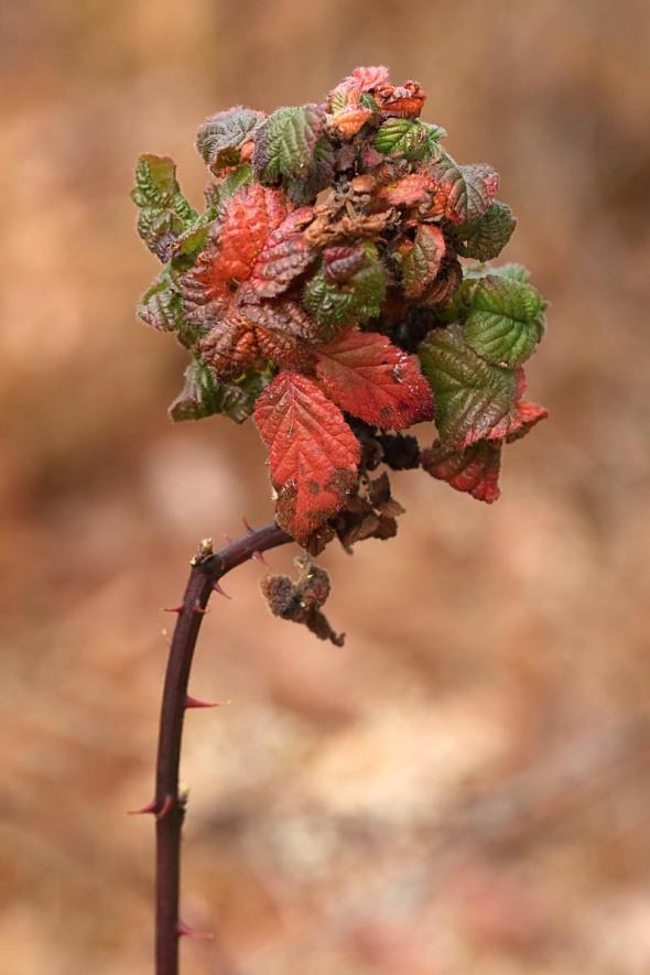 11-9-15 blackberry psyllid 101