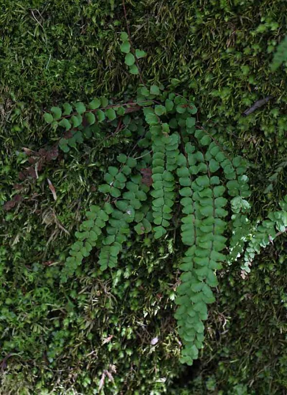 ebony spleenwort 083