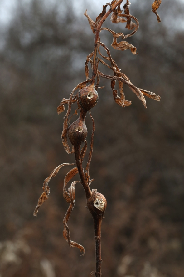 12-11-15 goldenrod ball galls 058