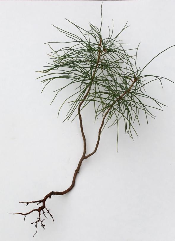 12-15-15 white pine 047