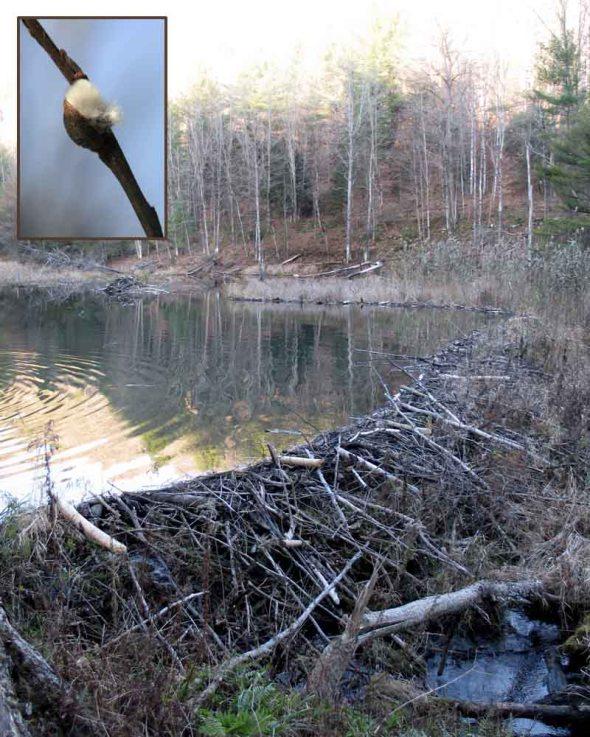 12-23-15 beaver dam & pussy willow IMG_5739