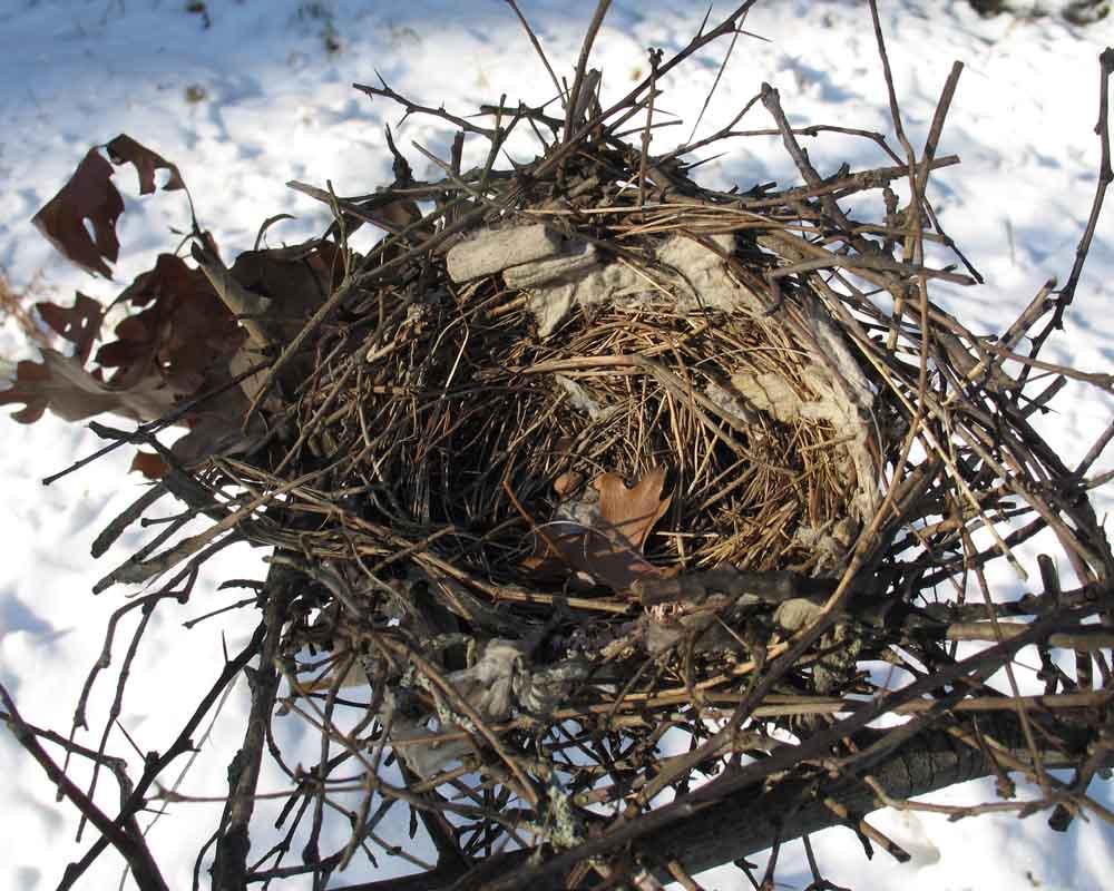 12-3 northern mockingbird nest IMG_6363