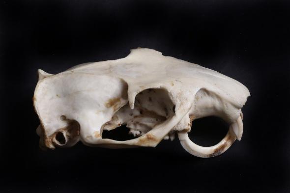 12-3 woodchuck skull IMG_7187