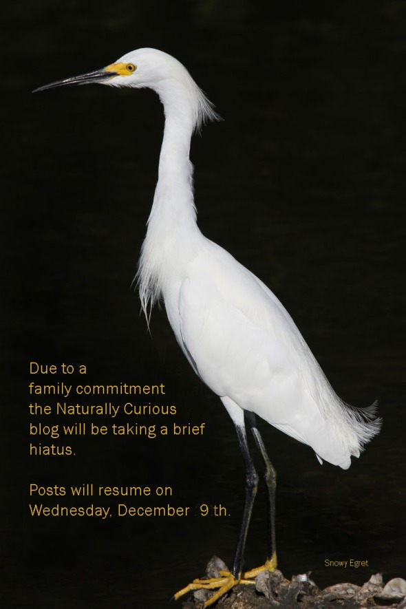 12-6-15 snowy egret 1493