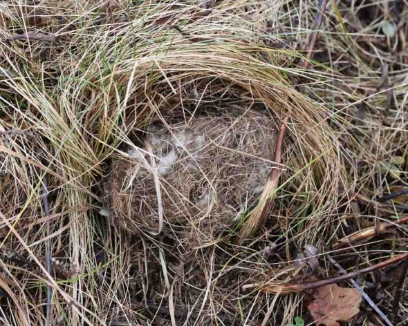 meadow vole nest  089