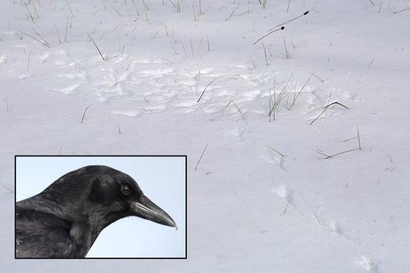 1-13-16  American crow tracks 147